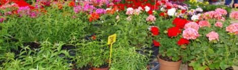 18ème Fête du géranium et de la plante à massif
